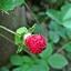 สตรอเบอรี่ป่า Mock Strawberry / 30เมล็ด thumbnail 1