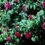 กุหลาบชาร์ลส์เดอมิลส์ Rosa 'Charles de Mills / 10 เมล็ด thumbnail 5