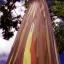 ยูคาลิปตัสสายรุ้ง (Rainbow Eucalyptus) / 20 เมล็ด thumbnail 10