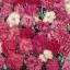ดอกผีเสื้อ พลูมาเรียส สปริง บิวตี้ มิ๊กซ์ Dianthus Plumarius Spring Beauty Mix / 200 เมล็ด thumbnail 2