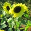 ทานตะวัน วาเลนไทน์ sunflower valentine / 50 เมล็ด thumbnail 3