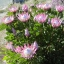 โพรเทีย (คิงโพเธีย) Protea cynaroides - autumn (King Protea) / 5 เมล็ด thumbnail 3