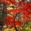เมล็ดเมเปิ้ลแดง พันธ์ุญี่ปุ่น Red Japanese Maple Tree / 10 เมล็ด thumbnail 5