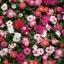 แพงพวยต้น แปซิฟิค่า คละสี(Vinca Mix) / 40 เมล็ด thumbnail 2