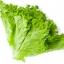 ผักกาดหอม ซีเฟรช หรือผักสลัด / 500 เมล็ด thumbnail 2