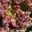 ผักสลัดเรดรูบี้ Ruby Red Lettuce / เมล็ด thumbnail 2