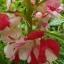 เทียนซ้อนด่าง สีขาวคลิบชมพูเข้ม Bicolor Rose Balsam #4 / 100เมล็ด thumbnail 2