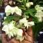 พวงเงิน Clerodendrum thomsoniae seeds / 10 เมล็ด thumbnail 2