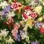 ดอกโคลัมไบน์ มิ๊กซ์ Columbine Flower Mix / 25 เมล็ด thumbnail 3