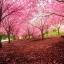 ซากุระญี่ปุ่น เชอรีบอสซัม Sakura / 10 เมล็ด thumbnail 3