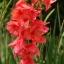 แกลดิโอลัส Gladiolus สีแดง / 1 หัว thumbnail 1