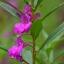 เทียนซ้อน แคนดี้ไวโอเล็ตสีม่วง balsam candy violet / 100เมล็ด thumbnail 2