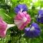ดอกผักบุ้งฝรั่งมิกซ์ Morning Glory Mix / 40 เมล็ด thumbnail 1