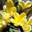 ลีลาวดี สีเหลือง / 10 เมล็ด thumbnail 1