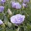 ดอกEustoma คละสี Eustoma Bicolor Mix / 20 เมล็ด thumbnail 4