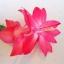 กระบองเพชรก้ามปู หรือมังกรคาบแก้ว Schlumbergera seed Mix / 100เมล็ด thumbnail 7