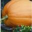 ฟักทองยักษ์ เดลแอตแลนติก ไจแอนท์ / 5 เมล็ด thumbnail 1