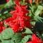 ซัลเวียสคาร์เรทคิงส์ สีแดง Salvia Scarlet King Red / 25 เมล็ด thumbnail 1