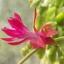 กระบองเพชรก้ามปู หรือมังกรคาบแก้ว Schlumbergera seed Mix / 100เมล็ด thumbnail 4