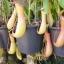 หม้อข้าวหม้อแกงลิง วาไรตี้ มิ๊ก Nepenthe eating mosquito varieties Mix / 10 เมล็ด thumbnail 3