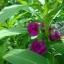 เทียนซ้อน แคนดี้ไวโอเล็ตสีม่วง balsam candy violet / 100เมล็ด thumbnail 3