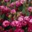 ดอกEustoma คละสี Eustoma Bicolor Mix / 20 เมล็ด thumbnail 7