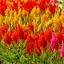 สร้อยไก่ รอยัล มิ๊กซ์ คละสี Celosia Mix / 30 เมล็ด thumbnail 1