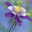 ดอกโคลัมไบน์ Columbine Flower / 25 เมล็ด thumbnail 2