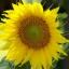 ทานตะวัน พันธุ์ทั่วไป #1 Sunflower / 30เมล็ด thumbnail 2