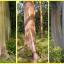ยูคาลิปตัสสายรุ้ง (Rainbow Eucalyptus) / 20 เมล็ด thumbnail 8