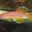 ไข่ปลาคิลลี่ สายพันธุ์ Nothobranchius korthausae yellow (Korthausae (Yellow) Kwachepa TZ)จำนวน 30 ฟอง thumbnail 1