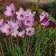 บัวดิน ไม้ดอก Zephyranthes Bubbles / 1 หัว thumbnail 1