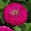 บานชื่นดอกซ้อน#7 สีบานเย็น (ต้นสูง) Zinnia purple / 100เมล็ด thumbnail 1