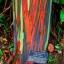 ยูคาลิปตัสสายรุ้ง (Rainbow Eucalyptus) / 20 เมล็ด thumbnail 1