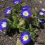 ผักบุ้งไตรรงค์ผักบุ้งแคระ 3 สี convolvulus tricolor / 25 เมล็ด thumbnail 1