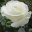 กุหลาบขาว white rose / 20 เมล็ด thumbnail 2