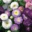 เอสเตอร์ พาวเดอร์ พัฟ มิกซ์ Callistephus powder pup Mix / 50 เมล็ด thumbnail 4