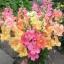 ดอกลิ้นมังกร ฟลอรัล ชาวเวอร์ คอรัล ไบคัลเลอร์ มิ๊กซ์ antirrhinum floral showersMix / 20 เมล็ด thumbnail 2