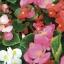 ดอกบีโกเนีย อีฟ มิกซ์ Begonia flowers Eve Mix /20 เมล็ด thumbnail 1