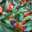 พริก7 สี พริกประดับ7สี Ornamental Pepper / 30 เมล็ด thumbnail 2