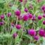 บานไม่รู้โรย สีบานเย็น#4 Globe amaranth / 100 เมล็ด thumbnail 1