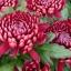 เบญจมาศ สีชมพูเข้ม Chrysanthemum / 20 เมล็ด thumbnail 1