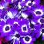 ดอกซินเนอราเรีย cineraria หรือ Pericallis hybrida / 20 เมล็ด thumbnail 3