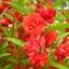 เทียนซ้อน สีแดงอมส้ม #8 Balsam / 50 เมล็ด thumbnail 1