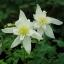 ดอกโคลัมไบน์ ขาว Columbine Flower / 15 เมล็ด thumbnail 3