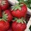 สตอเบอรี่ Stawberry / 150 เมล็ด thumbnail 1