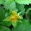 สตรอเบอรี่ป่า Mock Strawberry / 30เมล็ด thumbnail 4