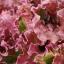 ผักสลัดเรดรูบี้ Ruby Red Lettuce / เมล็ด thumbnail 1