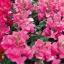 ดอกลิ้นมังกร ฟลอรัล ชาวเวอร์ คอรัล ไบคัลเลอร์ มิ๊กซ์ antirrhinum floral showersMix / 20 เมล็ด thumbnail 1