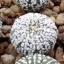 แอสโตรไฟตัม ซุปเปอร์คาบูโตะ astrophytum super kabuto / 10 เมล็ด thumbnail 2